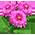 Fée Ailée ou Fée d'automne PurpleMumFlower_p.3308